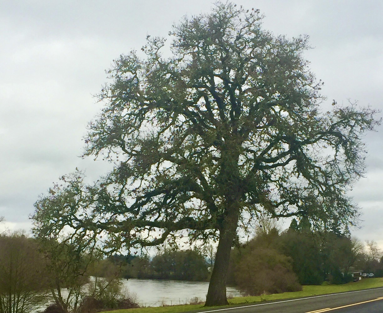 Oak tree by the river
